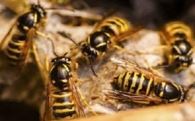 Bees & Wasp Control Evatt
