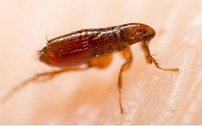 Flea Control Evatt